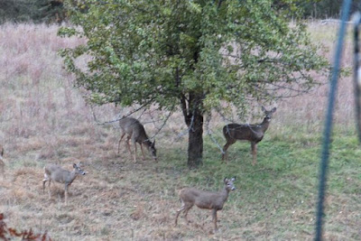 no partridge in it, 4 whitetails under a pear tree