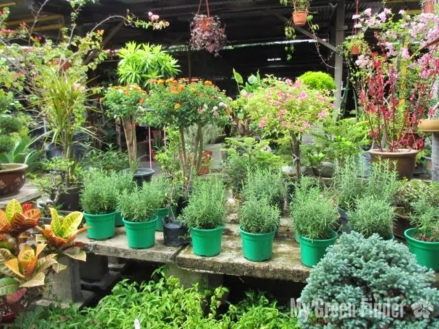 Plant Variety Rating 4 00 The Ger Shrubs Are Situated At One Far End Of Nursery Those On Racks And Hanging Ones Small Herbs
