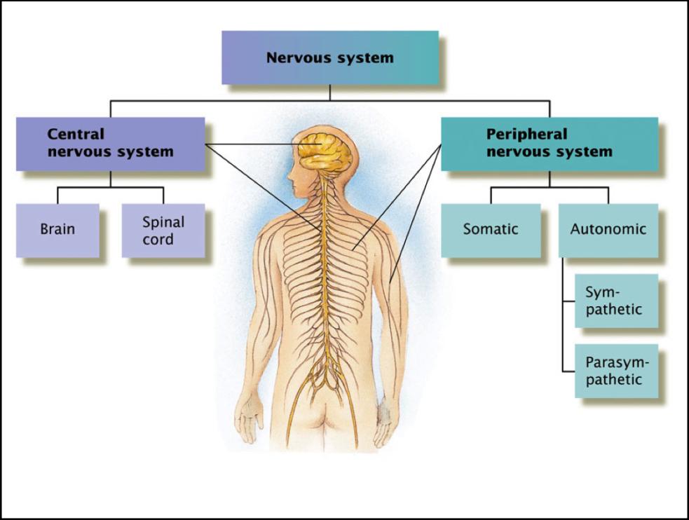 30 PM DEIDARA Labels  Peripheral Nervous System DiagramNervous System Diagram Labeled For Kids