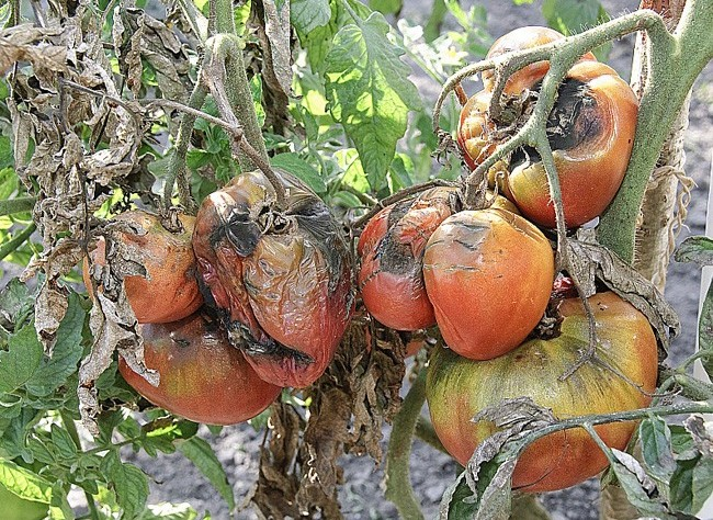 mildiou+tomate.jpg