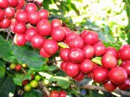 Lịch sử của cây cà phê