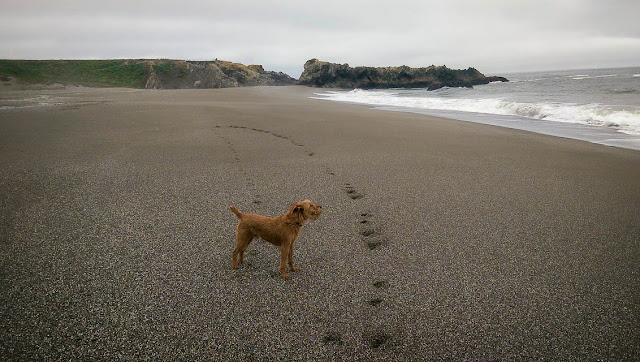 irish terrier wrights beach