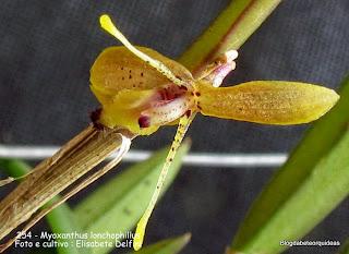 Pleurothallis lonchophylla, Pleurothallis warmingii, microorquidea