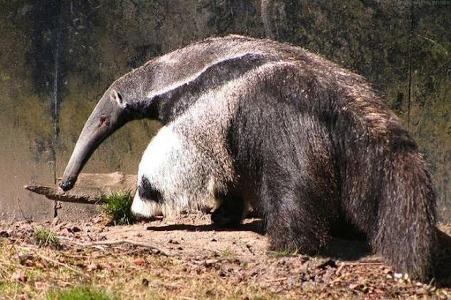 Giant anteater legs look like pandas, nature's optical illusions, giant anteater legs