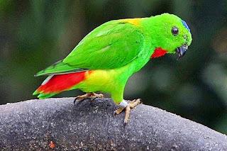 "Burung Serindit-Makanan Yang Dibutuhkan Burung Serindit-Keunggulan Burung Serindit dan Kelemahan Burung Serindit-Burung Serindit adalah lebih dikenal dengan Loriculus Pusillus termasuk jenis burung berukuran kecil (sekitar 12cm) dengan kombinasi warna hijau dan tunggir (ekor) merah serta iris dan paruh kuning, kaki jingga. Dentangan suara berdesisi ""srii-iii"" pada saat terbang menjadi ciri umumnya. Umumnya jenis burung ini bisa ditermukan diseputar daerah hutan hijau, dan dari permukaan laut sampai sekitar 200 m, termasuk jenis burung yang suka nomaden(sering berpindah-pindah) dan mudah terlewatkan (tidak teramati). Burung ini dapat terbang cepat serta suka merayap dan merangkak pada dahan pohon dengan gaya yang lucu, sulit di lihat karena ukuranya yang kecil dan warna hijaunya. Kebiasaan anehnya yaitu tidur bergantung dengan kepala di bawah sedangkan betina tampak sering membawa bahan sarang yang diselipkan di antara bulu-bulu tunggirnya.     Makanan Yang Dibutuhkan-Makanannya terdiri dari nektar bunga, buah-buahan, bji-bijian dan kemungkinan serangga kecil  Keunggulan Burung Serindit Didalam cerita-serita rakyat Riau, terutama kisah mengenai dunia fauna, burung ini disebut dengan gelar ""Panglima Hijau"". Didalam kehidupan orang Melayu Riau, sangkar berisi Burung Serindit digantungkan dibagian depan rumah, tidak jauh dari ambang pintu muka. Penempatan ini dikaitkan pula dengan adanya keperayaan, bahwa Burung Serindit dapat menolak ""sihir"", ""penyakit ayan"" dan sebagainya Bagi ora melayu Riau misalnya, Burung Serindit sudah lama dimitoskan bahkan diabadikan dalam berbagai cerita rakyat dan dijadikan lambang-lambang kebijaksanana. keindahan, keberanian, kesetiaan, kerendahan hati maupun lambang kearifan Kicaunya Merdu Kelemahan Burung Serindit Mudah drop Mudah macet berkicau(Jika Kurang Perawatan)"