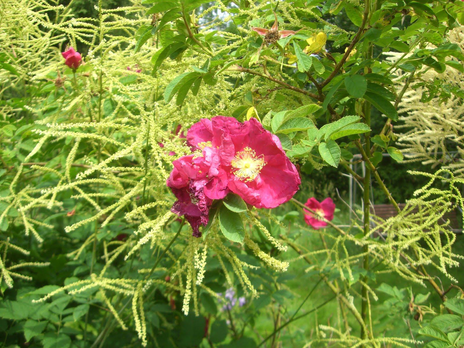Iitin Tiltu-ruusun kukka valitsi töyhtöangervon taustakseen.