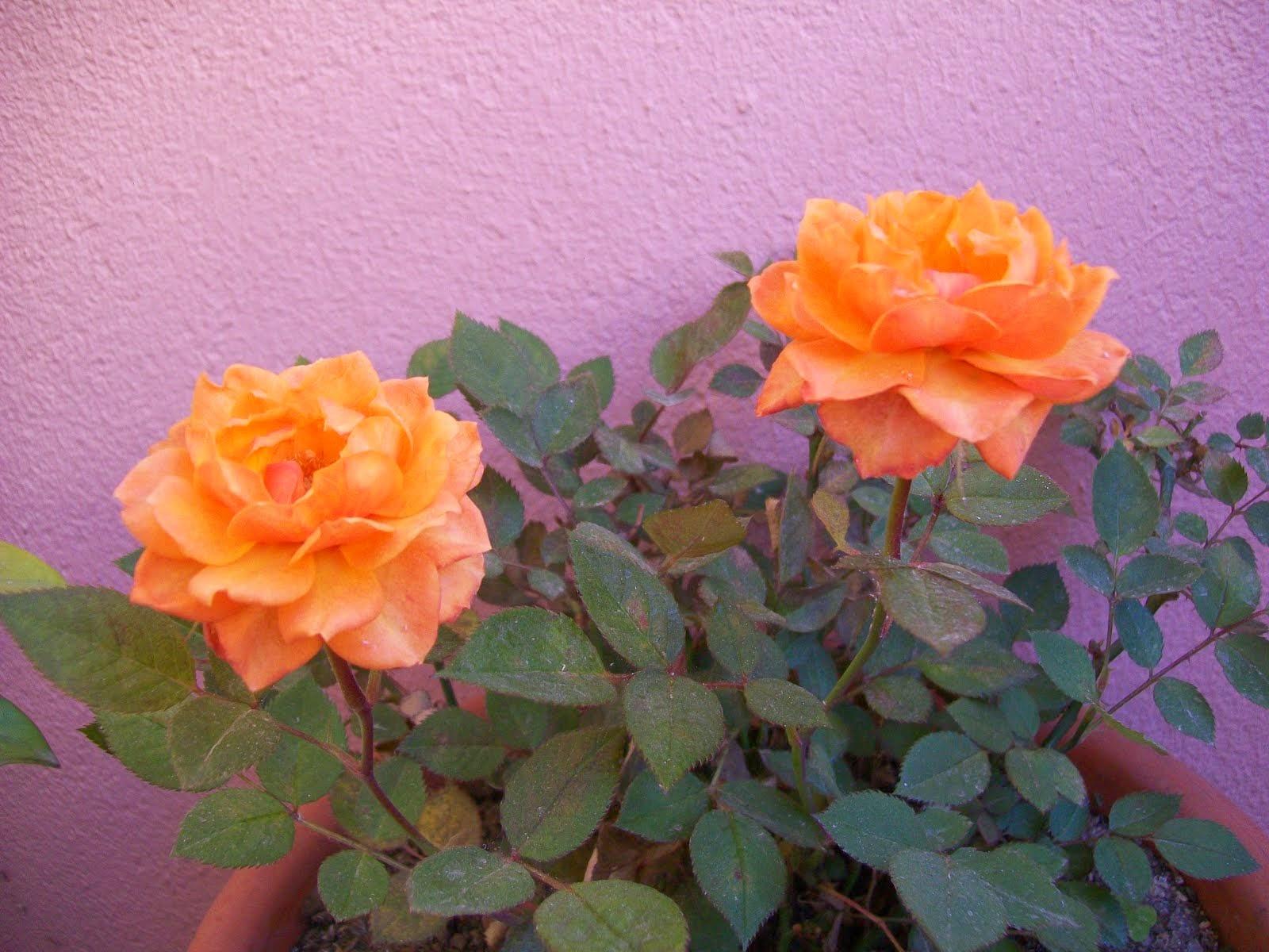 Rosas de Maio