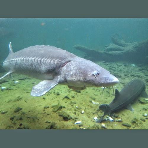 Travel columbia river gorge fish feeding at bonneville for Bonneville fish hatchery