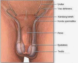 13 Penyakit pada Testis (Buah Zakar)