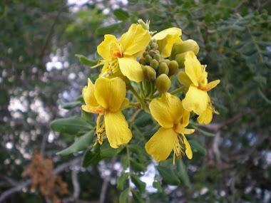 Flores de Catingueira