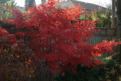 fall bloodgood japanese maple in toronto by paul jung ecological organic gardening services