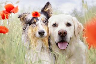 Ghép đôi giao phối cho chó
