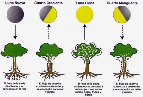 LAS PLANTAS Y LAS FASES DE LALUNA