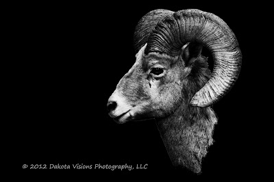 black hills photography, big horn sheep, ram