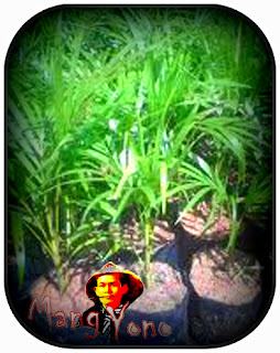 Bibit Palem - Cara pembibitan palem dari biji biar cepat tumbuh tunas dan akar