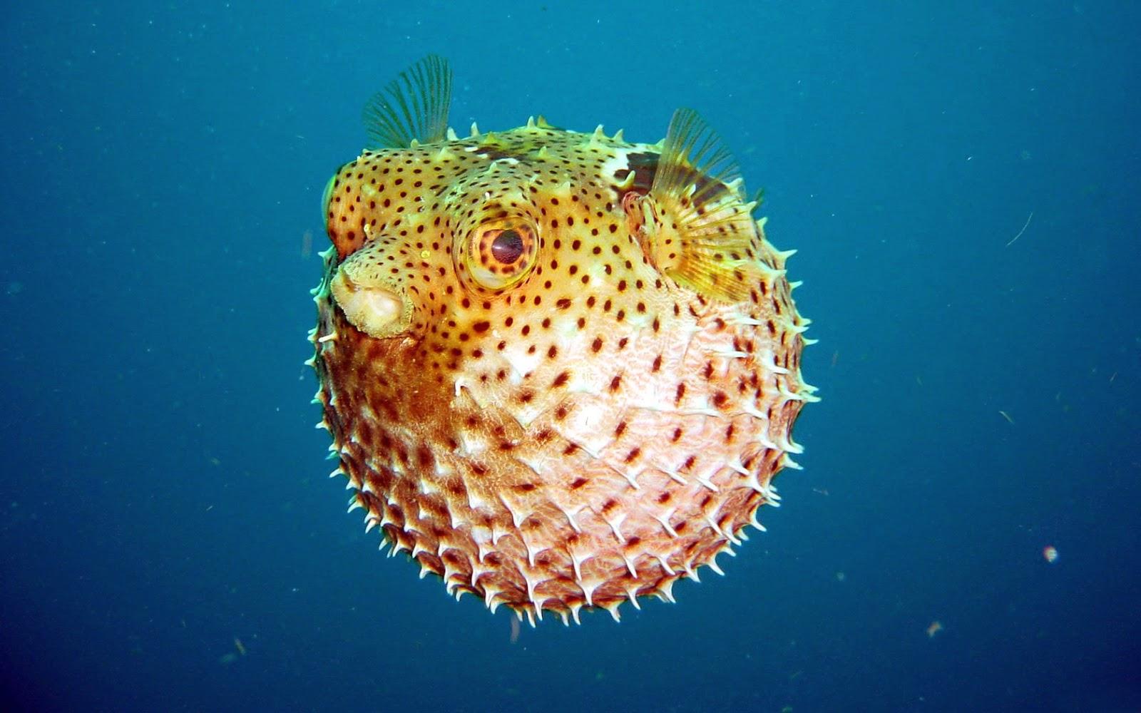 pesce palla velenoso