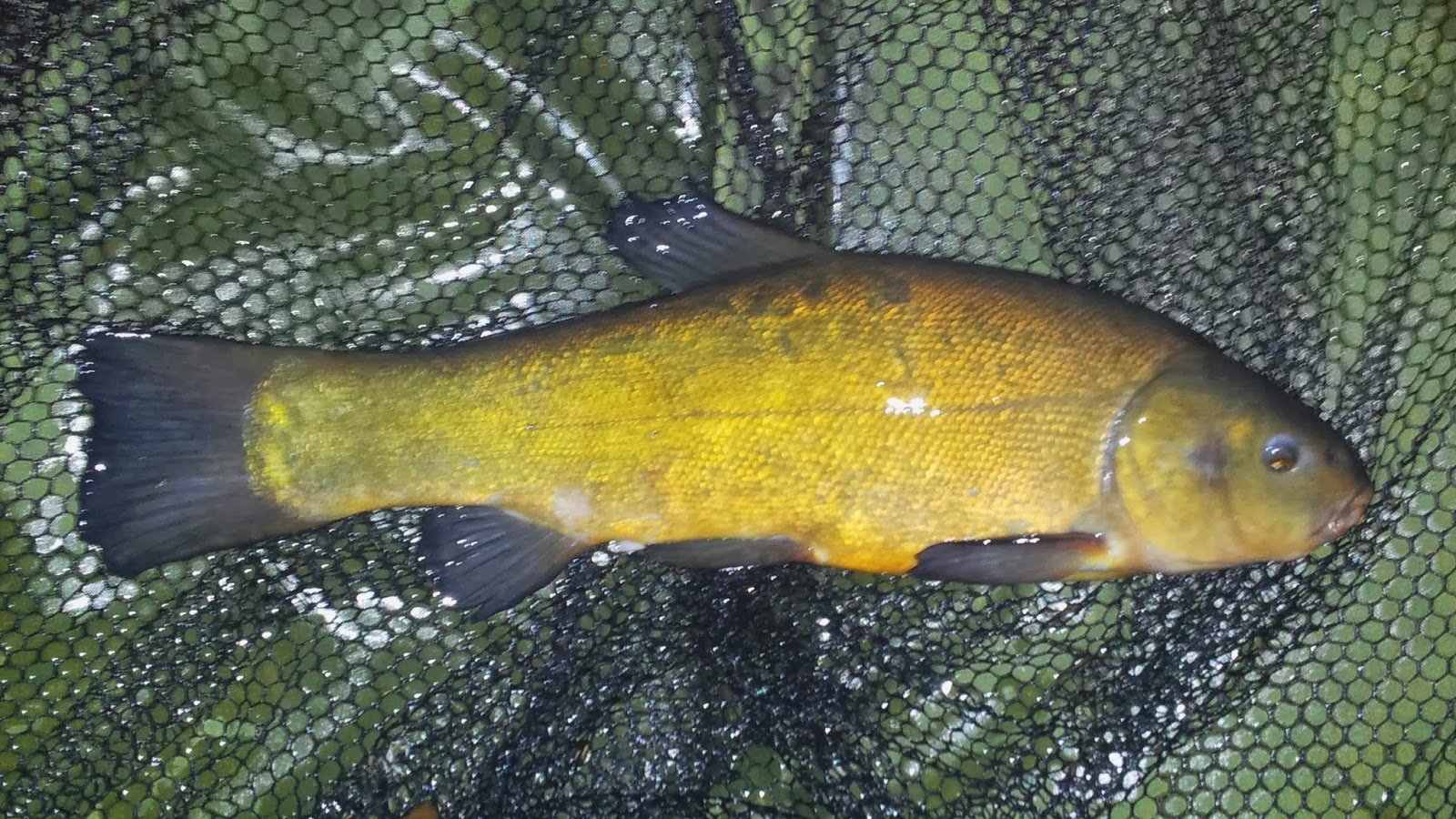 Small Tench on the Cell.
