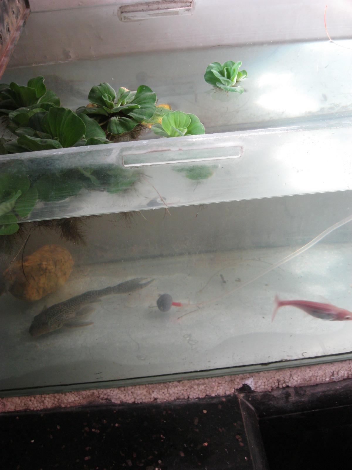 Fish tank maintenance in mumbai experiments with aqua for Fresh water tank cleaning fish