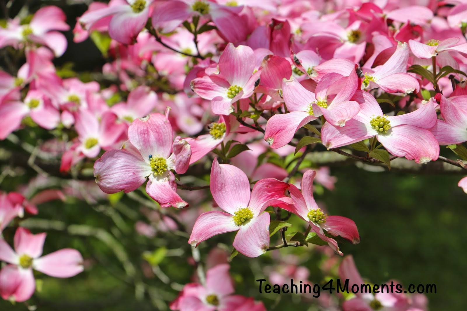 Teaching 4 Moments-Pink Flowering Dogwood