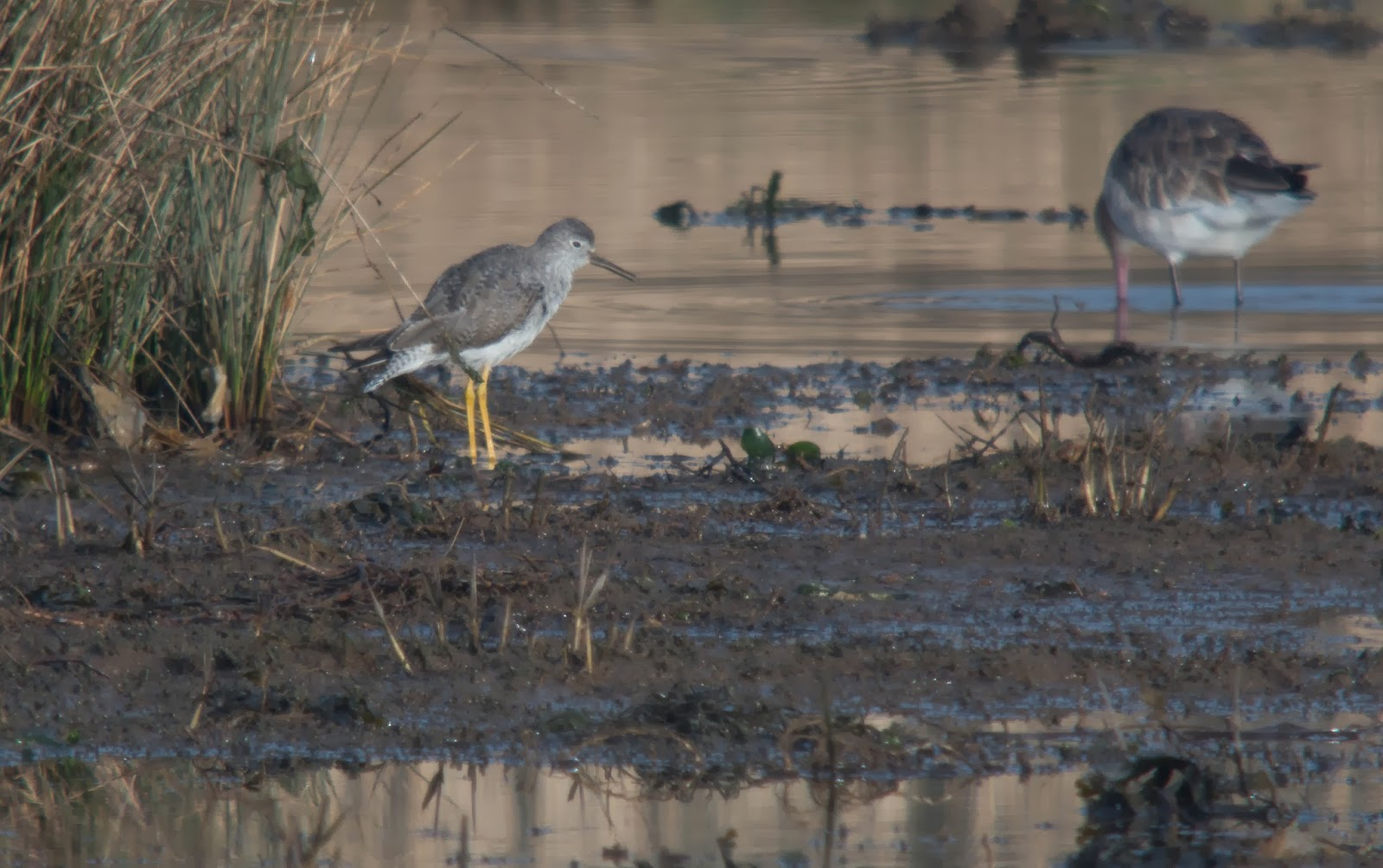 Lesser Yellowlegs, Stansore Point - Simon Colenutt