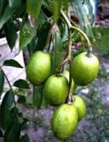 Benefits of Ambarella (Spondias dulcis Forst) - Fruits and
