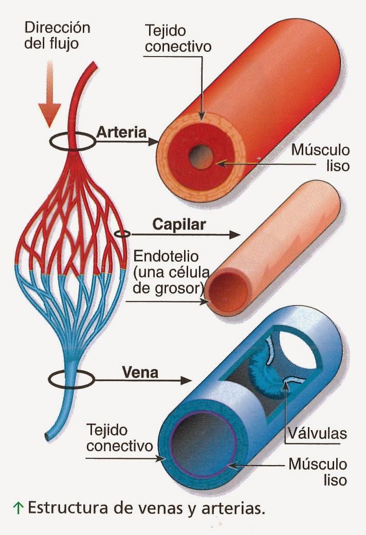 Blogg de Biologiaa(:: Diferencia de arterias i venas i capilares