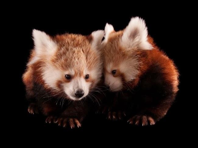 Две трехмесячные панды ютятся в зоопарке Линкольна. Сарторе сфотографировал эту парочку в рамках своего проекта Ark, в котором есть уже более тысячи редких видов. © Джоуэл Сарторе