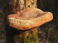 Hapalopilus nidulans