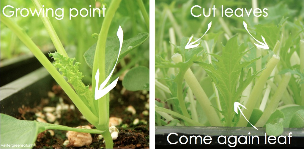 how to harvest cut and come again lettuce
