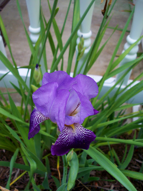 I was shocked when this iris blossomed so beautifully and so fast.