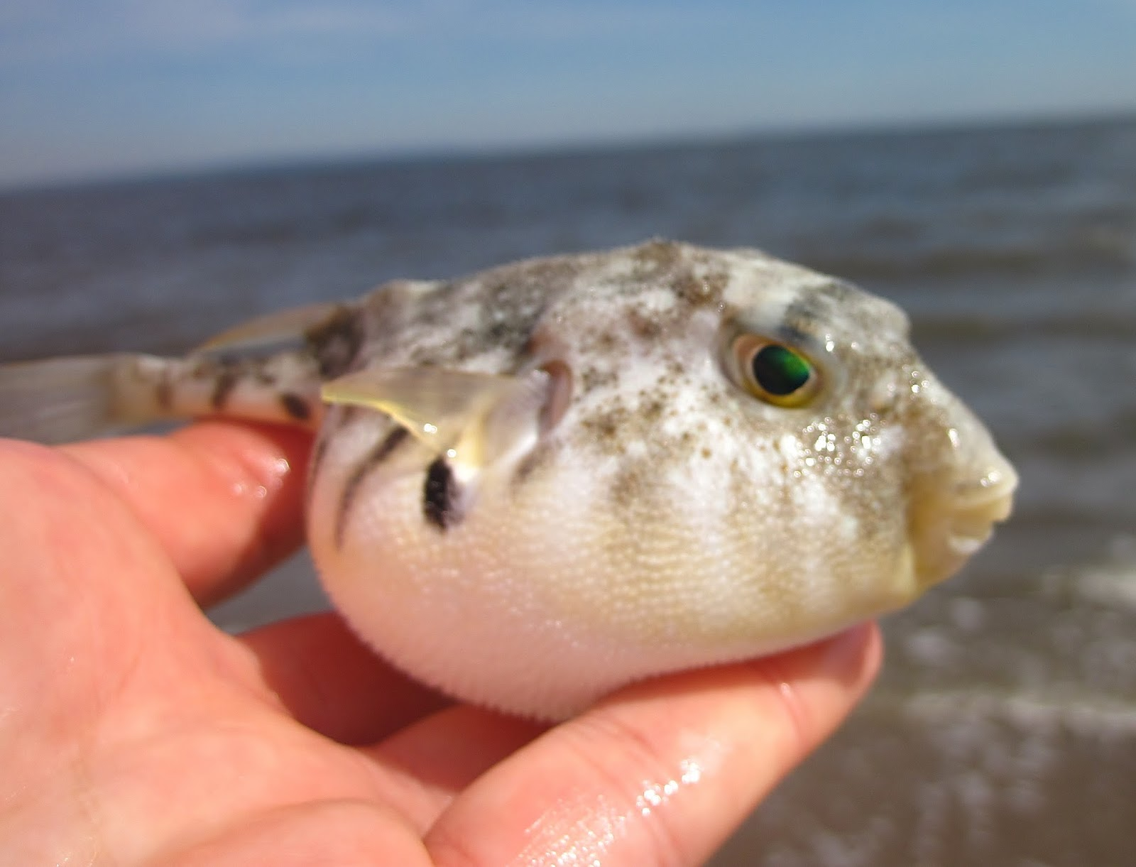 Puffers puff up in lower ny bay nature on the edge of for Puffer fish puffing