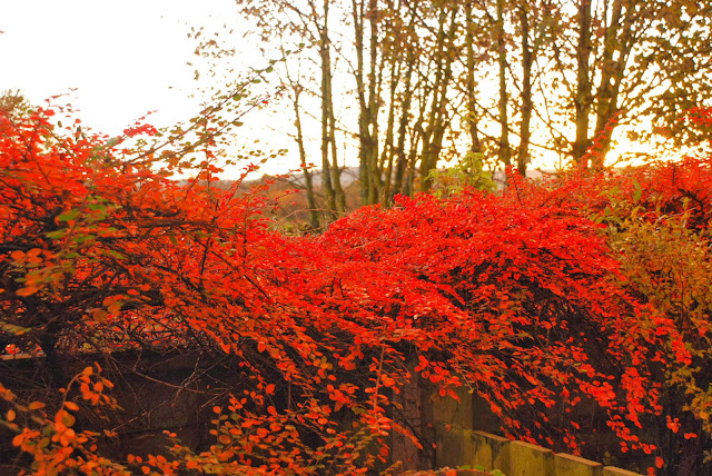 image of Autumn sunrise with red bushes