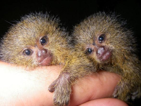 Pygmy Marmoset | Animal Wildlife
