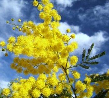 Olfactorum: Mimosa, fleur d'hiver.