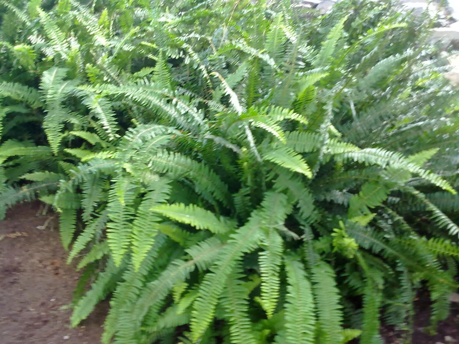 Entre patios y plantas los helechos y su cultivo - Cuidados de los helechos ...