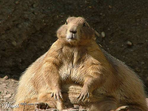 a picture of a rodent which has been altered to make the varmint appear obese