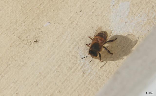 Une abeille sur le rebord d'une fenêtre