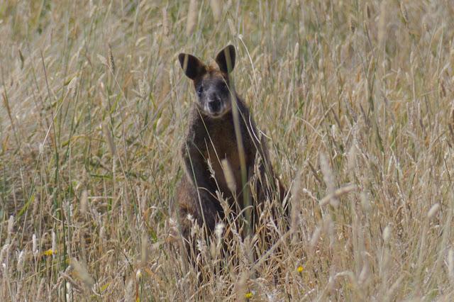 wallaby behind long grass