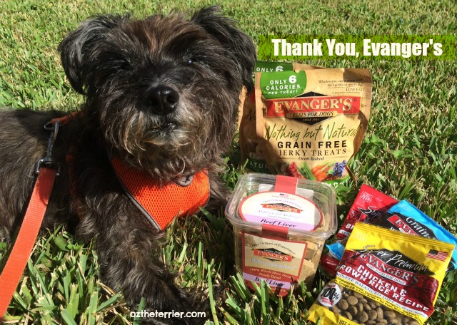 Oz the Terrier is surprised to receive a package from Evanger's Pet Food