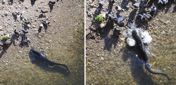 Bagre é flagrado capturando aves na beira da praia