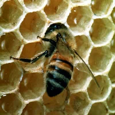 bee images