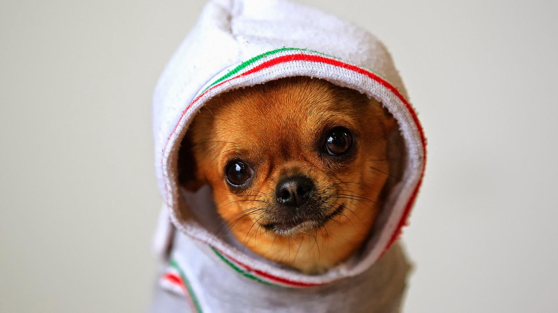 Video Animali: Il Chihuahua che strizza l'occhio alla telecamera mentre si fa un massaggio