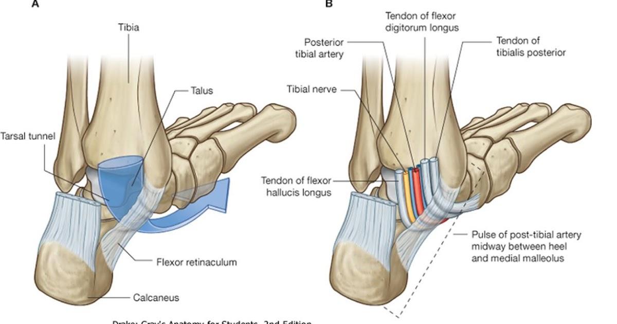 Anatomía UNAM: TUNEL DEL TARSO