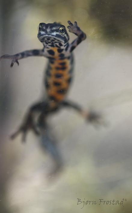 stor salamander i norge