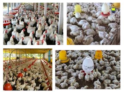 Cara beternak Ayam Potong Untuk Pemula