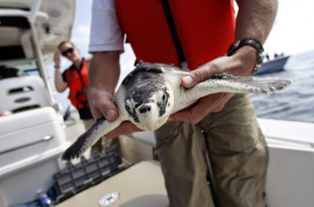 Dr. Bob MacLean, Audubon Institute senior veterinarian, releases a sea turtle that had previously been impacted by oil from the Deepwater Horizon oil spill, back into the Gulf of Mexico, 45 miles off the coast of Louisiana, Thursday, Oct. 21, 2010. (Credit: AP Photo/Gerald Herbert) Click to enlarge.