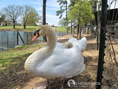 Mute Swan pair at P Allen Smith's Moss Mountain Farm