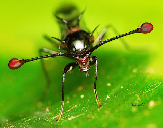 lalat aneh