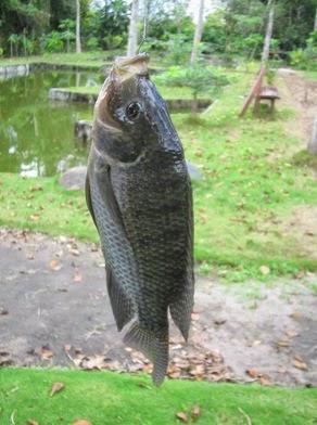 Ikan Nila Atau Tilapia