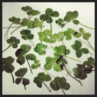 Twenty-seven four-leaf clovers laid out haphazardly on a white sheet of paper.